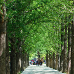 Gingko-Allee