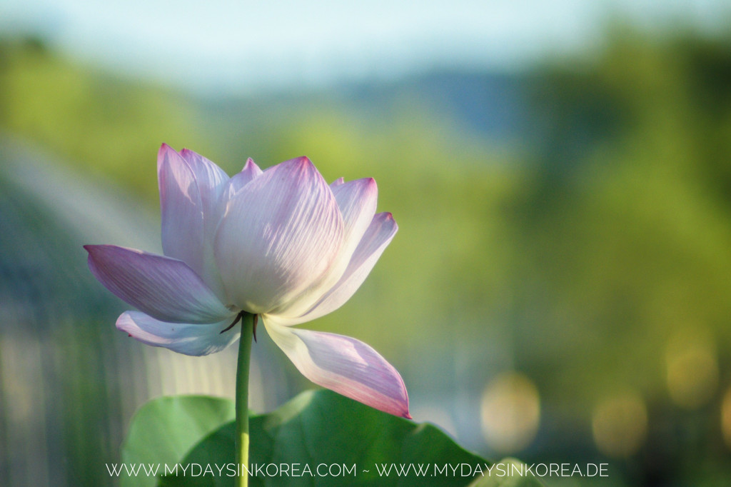 Buyeo Lotus Festival 2018, Lotus, July's festival