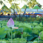 Buyeo Lotus Festival 2018, Lotus, July